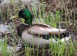 Male Mallard Duck Resting