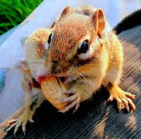 Sweet Chipmunk by JocelyneR