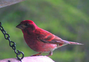 Purple Finch by JocelyneR