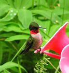 Ruby-throated Hummingbird by JocelyneR