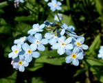 Blue Forget-me-not by JocelyneR
