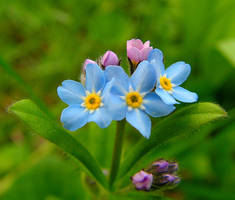 Forget-Me-Not, Tea