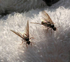 Flying Ant Day by JocelyneR