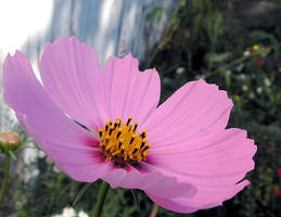A Pink Cosmos