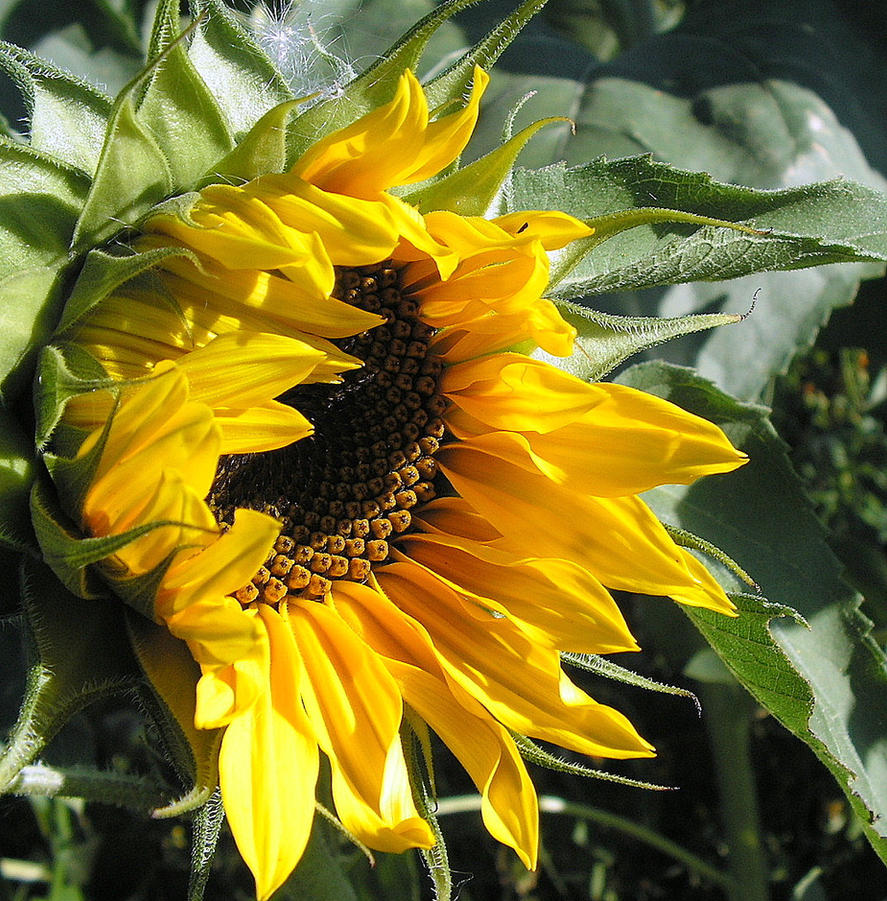 Late Opening Sunflower by JocelyneR