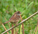 White-Throated Sparrow 01