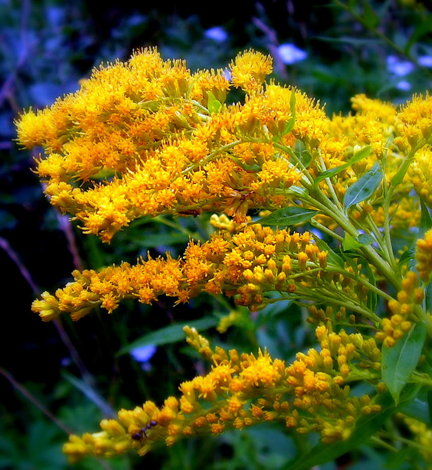 Yellow Weed Goldenrod Flower By Jocelyner On Deviantart