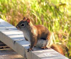 Mum Squirrel Met at Dusk by JocelyneR