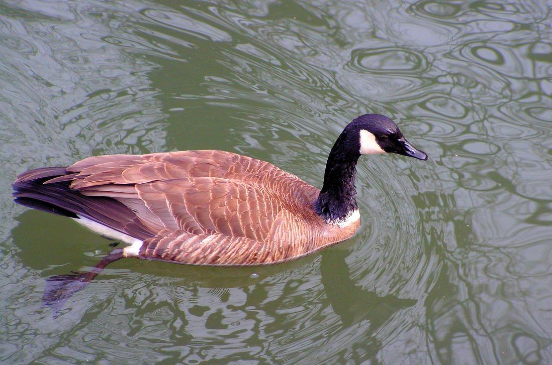Canada Goose by JocelyneR