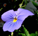 A Pansy for Gypsy