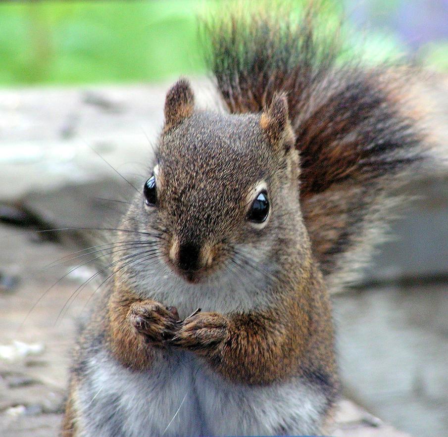 Mum Squirrel Resting at Last by JocelyneR