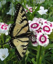 Butterfly on Dianthus by JocelyneR