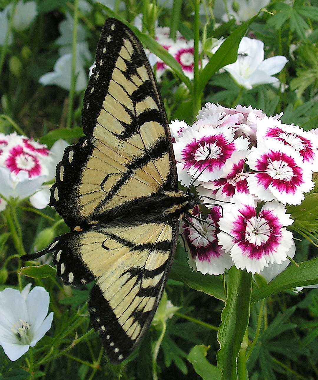 Butterfly on Dianthus by JocelyneR