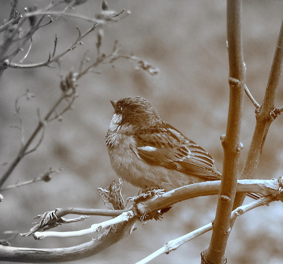 A Sparrow in Sepia by JocelyneR