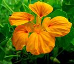 Orange Nasturtium - for Flori