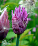 A Chive's Bud - for Tea