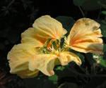 Fragile Nasturtium