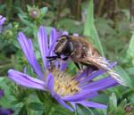 Fly on a Violet Carpet Flower