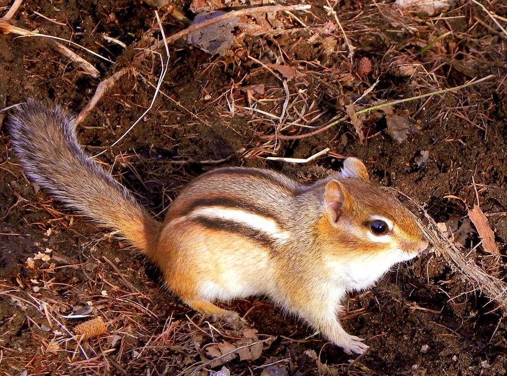 Young Chipmunk Met in Early Spring by JocelyneR