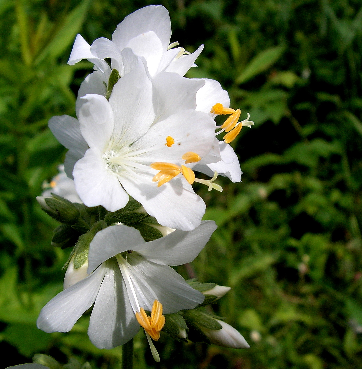 Pretty White Flower by JocelyneR