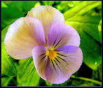 A Delicate Pansy