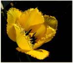 Yellow Tulip Blossoming