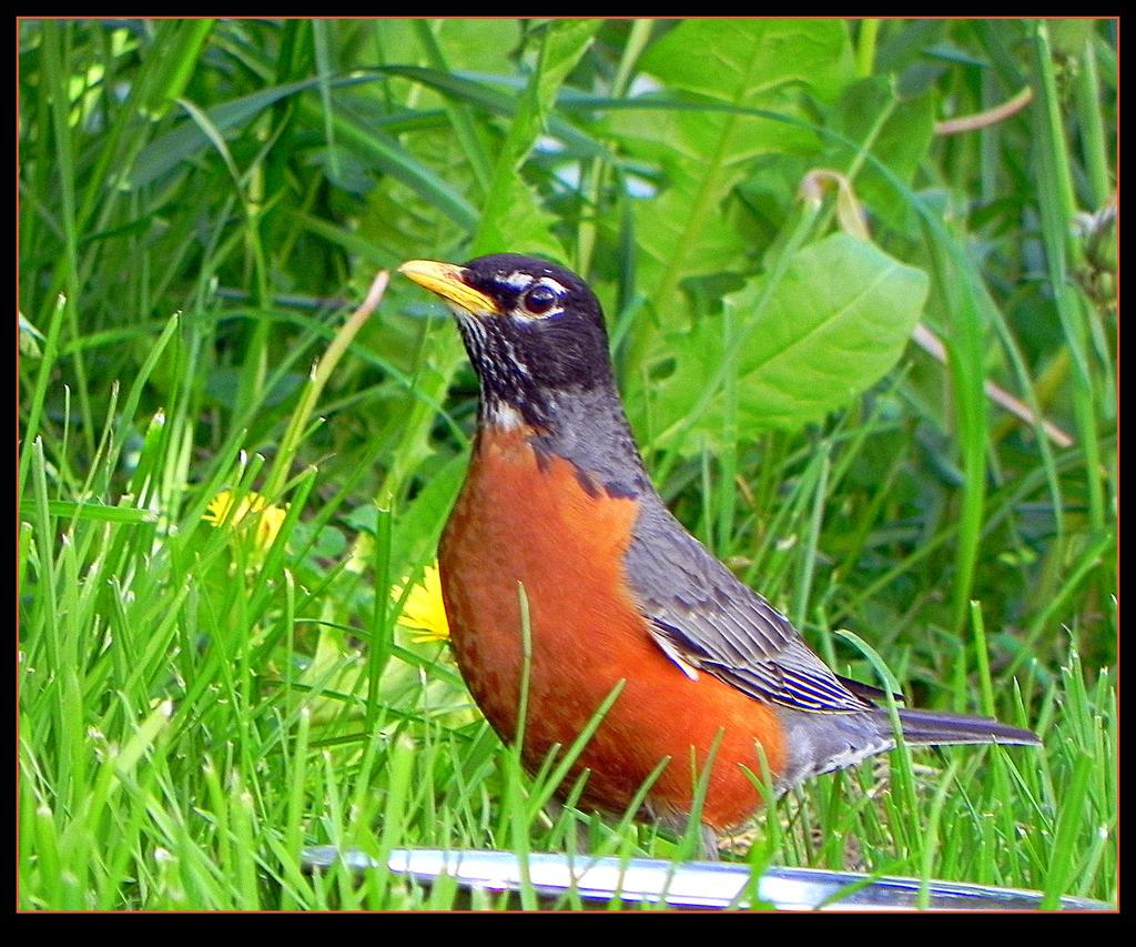 American Robin - a Male by JocelyneR