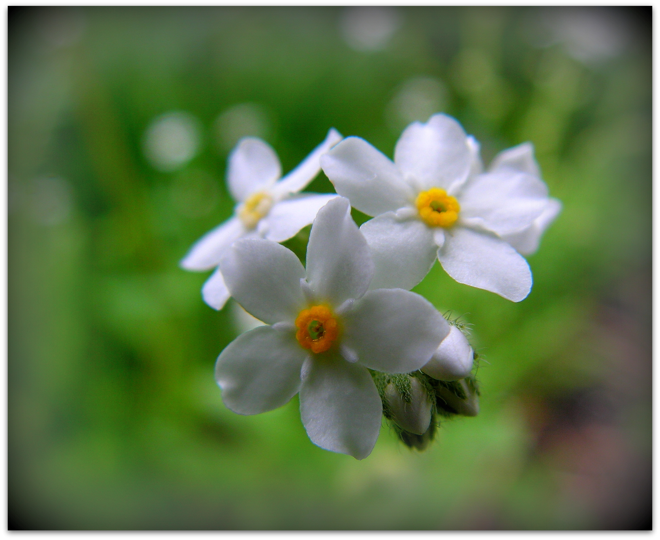 White Forget-me-not by JocelyneR