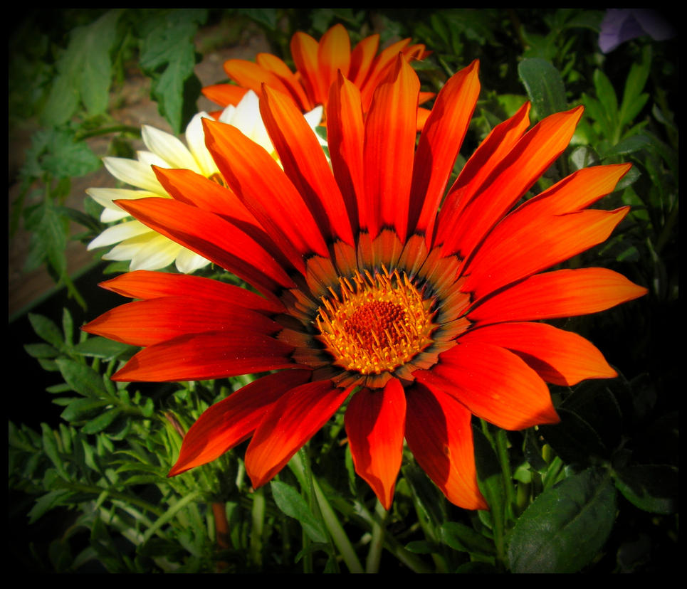 Orange Gazania by JocelyneR