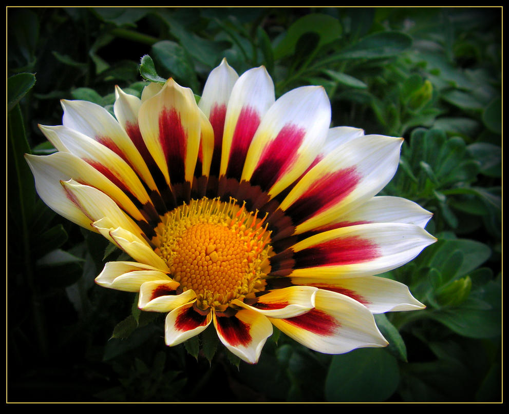 White and Pink Gazania by JocelyneR