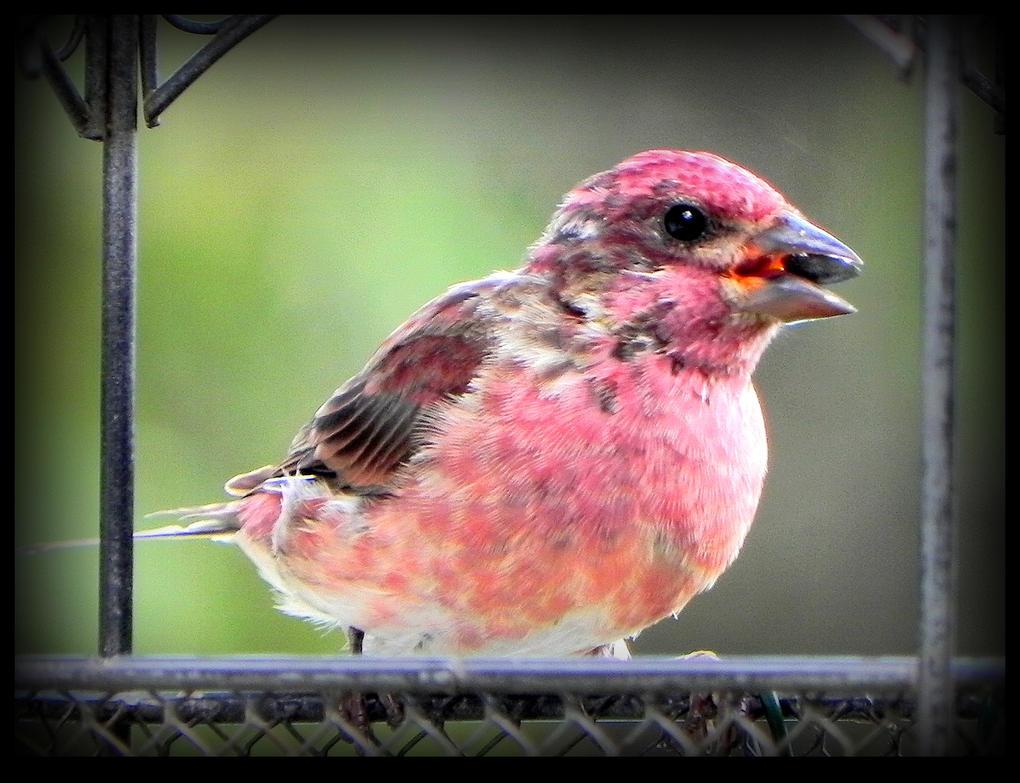 Purple Finch, a Male by JocelyneR