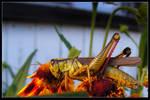 Sunlit Grasshopper On A Flower