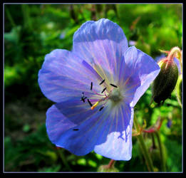 Perennial Geranium by JocelyneR