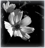 White Cosmos - BW by JocelyneR
