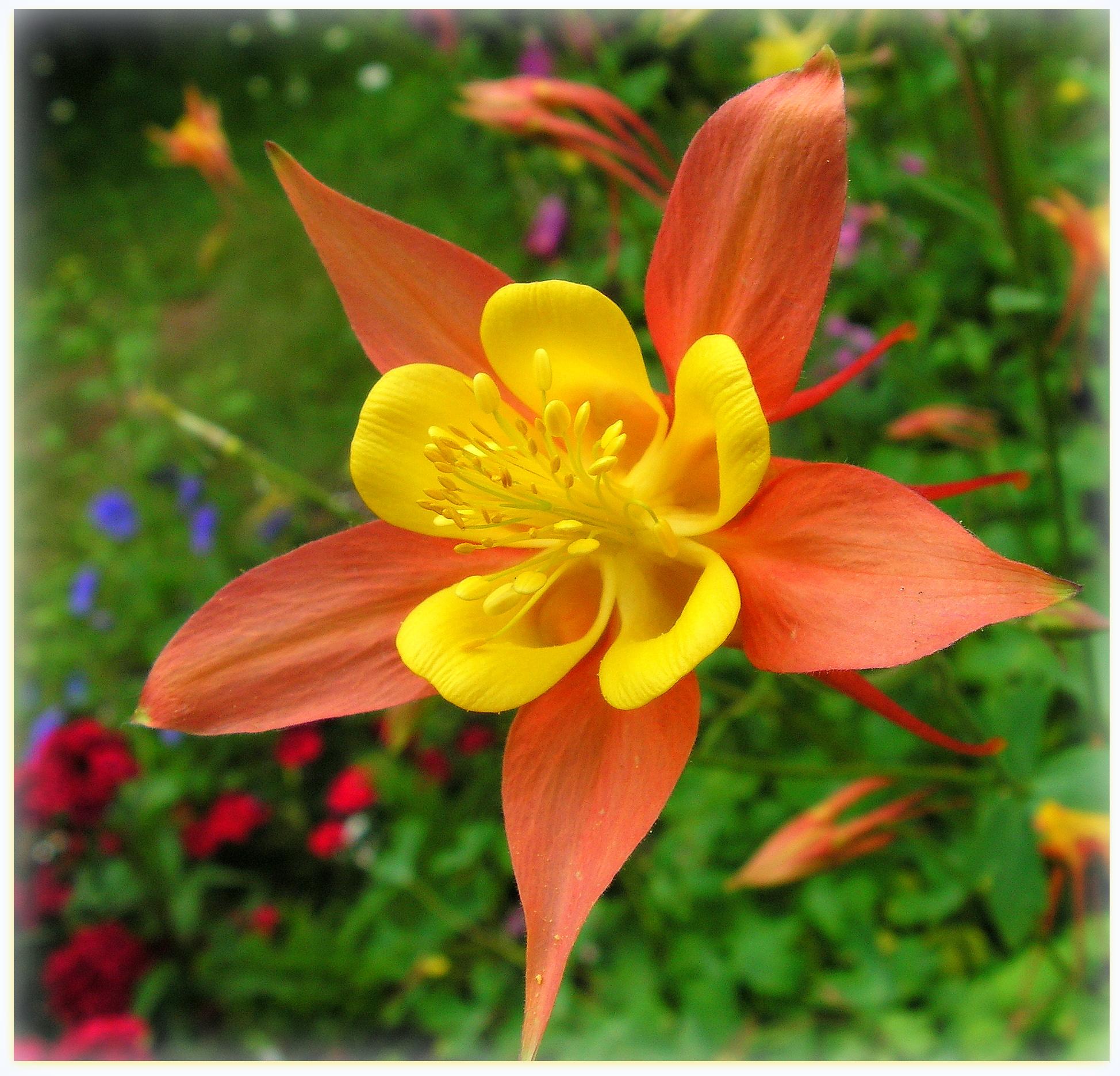 Orange And Yellow Columbine by JocelyneR