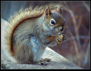 Young Reddish-brown Squirrel