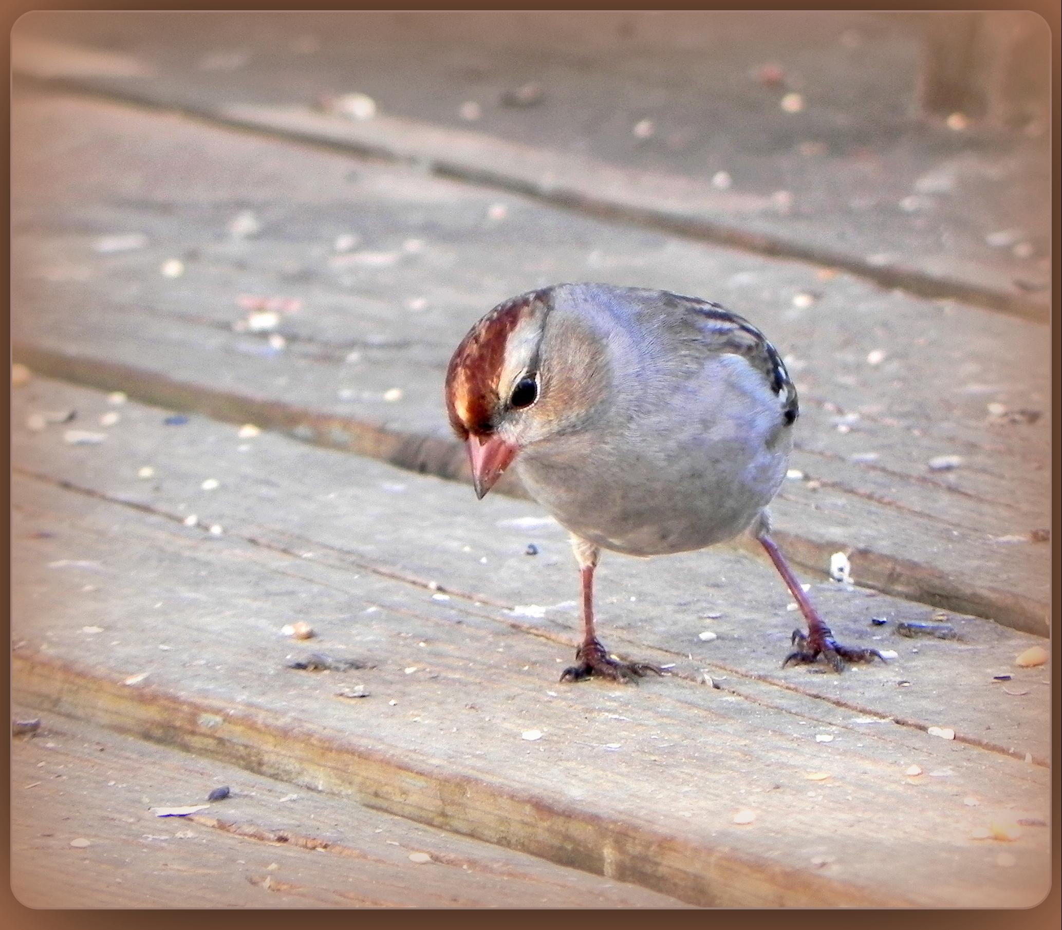 Lovely Little Sparrow by JocelyneR