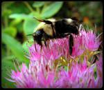 Bee On the Sedum - Macro by JocelyneR