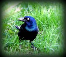 Ferocious grackle on the grass. by JocelyneR