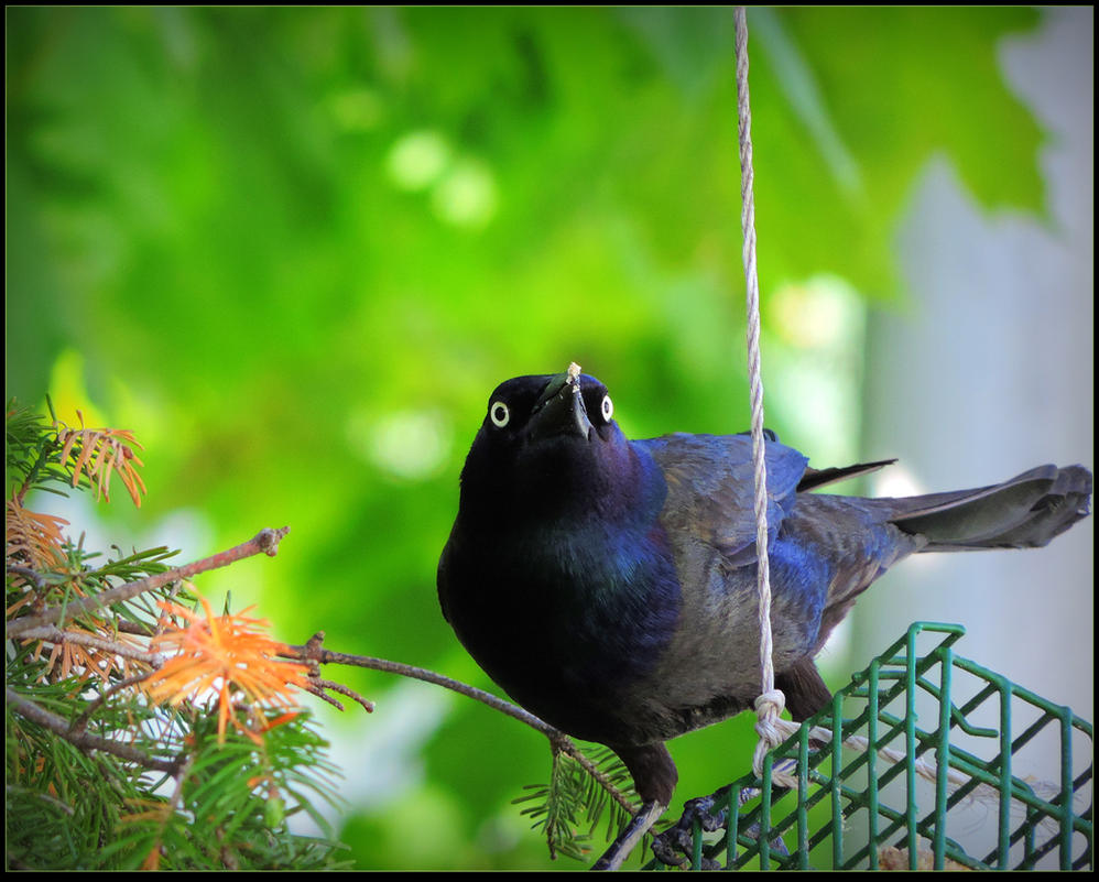 Grackle Eating Suet by JocelyneR