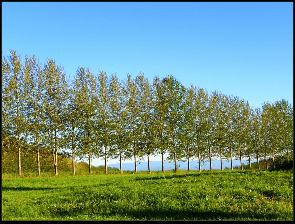 Tree Row by JocelyneR