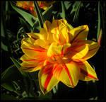 Lovely Tulip 02 by JocelyneR