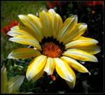 Yellow and White Gazania
