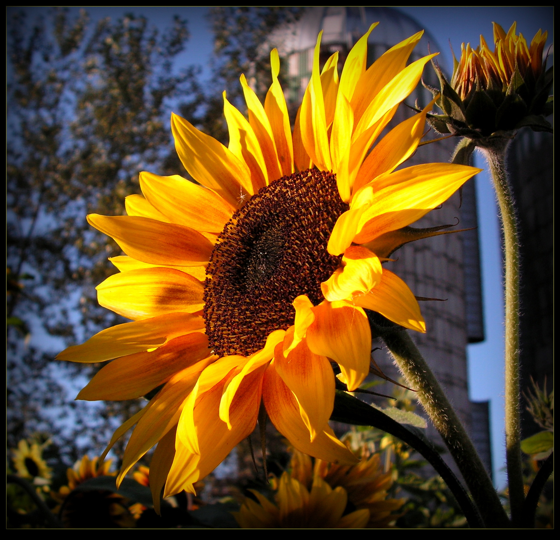 Joyful Sunflower by JocelyneR