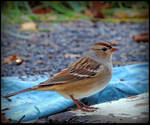 Cute Chipping Sparrow