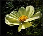 Yellow Cosmos for Barbara
