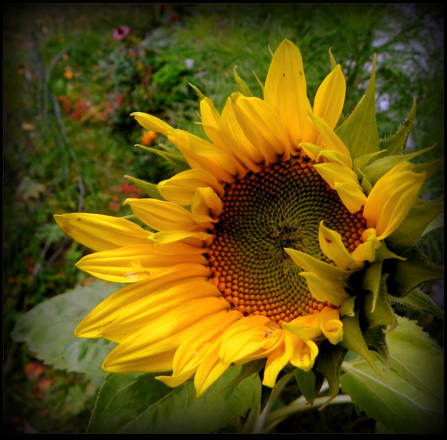 My sunflower by JocelyneR