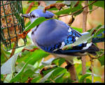 The Blue Jay On the Lilac