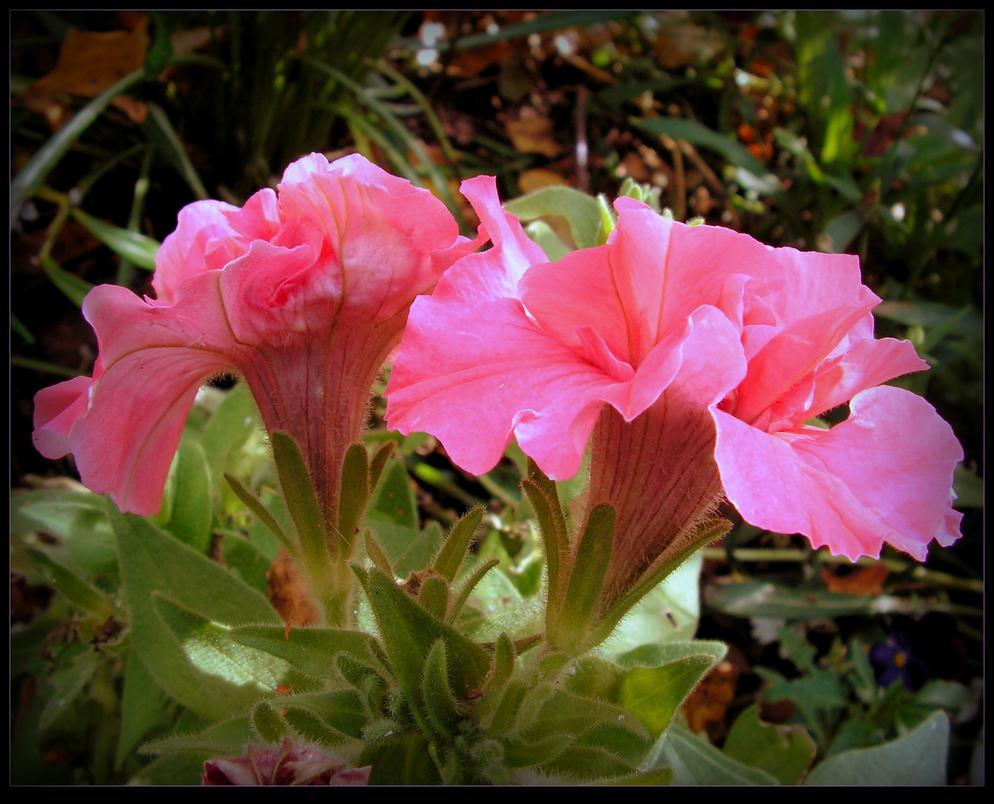 Petunias for Lois by JocelyneR