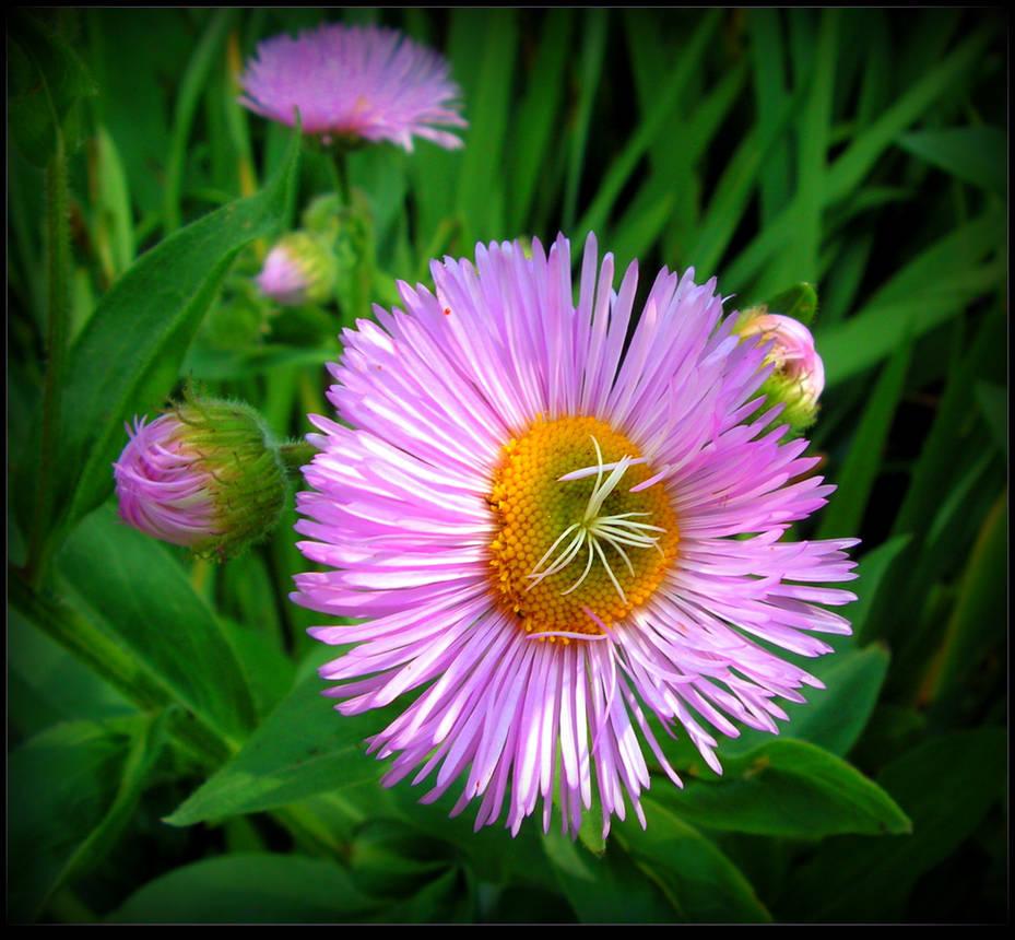 Purple Aster by JocelyneR